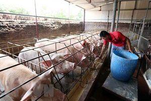 Ổn định giá thịt lợn từ nay đến cuối năm