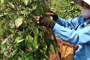 Doanh nghiệp Việt có nguy cơ mất trắng lô hồ tiêu xuất vào Myanmar