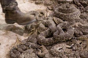 Hãi hùng cảnh bắt giết rắn đuôi chuông tàn bạo