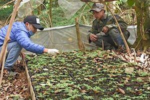 Kon Tum: Làm giàu ở nông thôn, dân đổi đời nhờ trồng sâm