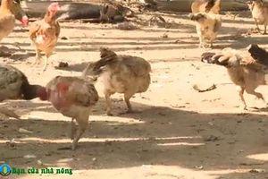 An Giang: Thoát nghèo nhờ xây dựng mô hình nuôi gà thả vườn với số vốn ít