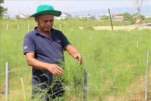 Ninh Thuận: Trồng măng tây trên đất cát giúp đồng bào Chăm tăng thu nhập