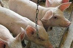 Nga triển khai dự án phát triển cơ quan cấy ghép trong cơ thể động vật