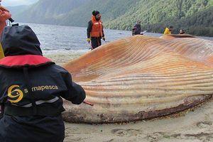 Các nhà khoa học dùng vệ tinh vũ trụ để theo dõi cá voi mắc cạn