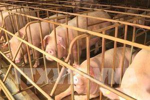 Thêm 2 tỉnh của Philippines phát hiện trường hợp mắc tả lợn châu Phi