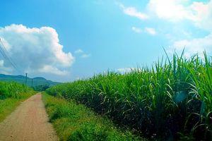 Công ty Cổ phần Mía đường Nông Cống (Thanh Hóa): Cấn trừ nợ tiền mía nguyên liệu trái quy định