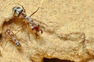 Giải mã bí ẩn loài kiến có tốc độ di chuyển nhanh nhất thế giới