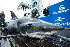 Cá mập trắng có vết cắn lớn trên đầu, nghi do tranh giành bạn tình