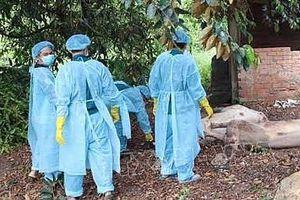 Hà Nội: 5 quận đã qua 30 ngày không phát sinh lợn mắc bệnh dịch tả lợn châu Phi