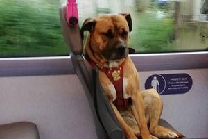 Chú chó ngồi buồn thiu trên xe buýt khiến dân tình xót xa