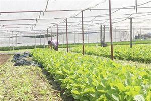 Thái Nguyên: Khởi nghiệp với rau sạch, hình thành HTX