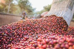 Giá cà phê hôm nay 21/10: Giảm 200 đồng/kg ngay từ đầu tuần
