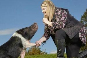 Bò lùn nhất thế giới và lợn biểu diễn được 13 trò giải trí