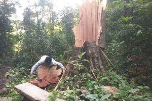 Gia Lai: Rừng cổ thụ ở Mang Yang tiếp tục bị 'bức tử'