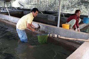 Lâm Đồng: Nuôi loài cá 'lạ' ở chuồng heo cũ đem lại hiệu quả kinh tế cao