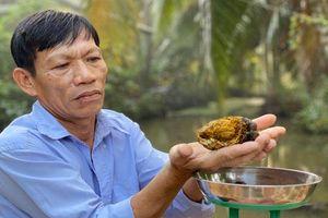 Khám phá 'choáng' về viên sỏi mật trâu bò 200 triệu