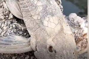 CLIP: Loài cá 'bất tử' ở Việt Nam, đã chết khô chỉ cần đổ nước vào miệng liền hồi sinh