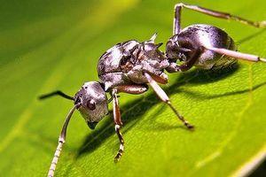 Loài kiến nhanh nhất thế giới, chạy 47 bước mỗi giây