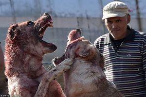 Chó trăm kg chọi nhau đẫm máu ở Kyrgyzstan gây phẫn nộ tột cùng