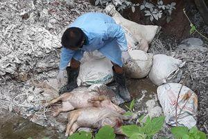 Lợn chết được chất đầy vào hàng chục bao tải vứt cạnh sông Lam