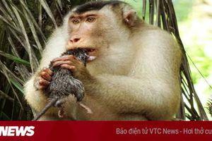 Các nhà khoa học choáng khi thấy khỉ bắt và làm thịt chuột
