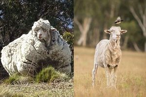 Chú cừu Chris nổi tiếng với bộ lông 'khủng' nhất thế giới đã chết