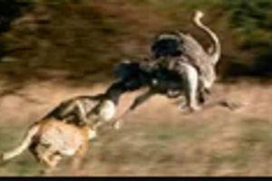 Đàn báo săn chạy nước rút vồ gọn đà điểu