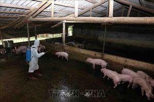Hưng Yên xử lý dứt điểm các ổ dịch tả lợn châu Phi
