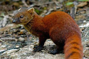 Loài cầy có đuôi lạ không tưởng, 'khoái' ăn rắn kịch độc