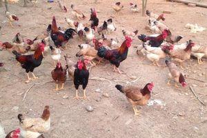 Sơn Tây phát triển chăn nuôi, thủy sản gắn với quy hoạch vùng