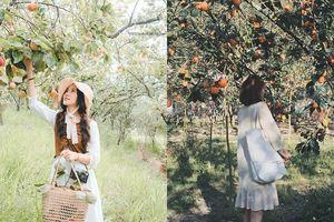 Đang mùa hồng chín, lại có vườn miễn phí vé vào cửa, dại gì mà không đi Đà Lạt ngay