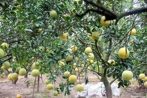 Nhờ trồng cam, bưởi, xã nghèo Hưng Yên đổi đời