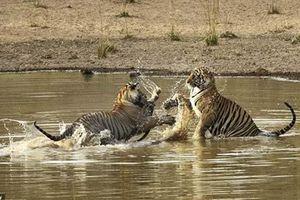 Hai anh em nhà hổ tranh giành khốc liệt miếng mồi ngon