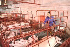 Chăn nuôi lợn an toàn sinh học: Hướng đi bền vững
