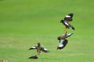 Chim sáo chiến đấu tập thể kịch tính trên sân golf