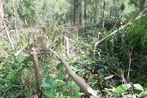 4.000 cây keo của dân bị chặt phá, công an vào cuộc