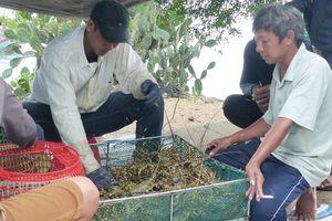 Người nuôi hải sản ở Phú Yên xuất bán tôm hùm trước khi bão số 5 đổ bộ