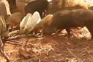Đàn lợn rừng lao vào xé xác trăn 'khủng' để trả thù cho lợn con