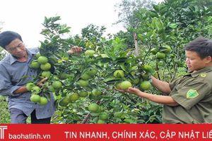 Xứ sở cam Hà Tĩnh dự kiến thu hơn 360 tỷ đồng từ 14.500 tấn quả