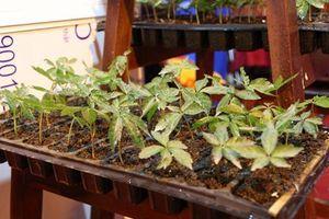 Quảng Nam: Trồng cây dược liệu giúp người dân xóa đói giảm nghèo