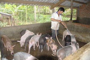 Bình Định: Xây dựng chuỗi liên kết chăn nuôi và tiêu thụ heo
