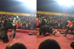 Kinh hoàng cảnh gấu xiếc tấn công người huấn luyện thú trong lúc biểu diễn