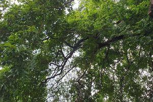 Cây thị hơn 900 tuổi ở bến Bạch Đằng Giang được công nhận cây di sản
