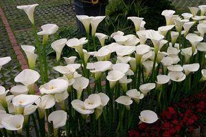 Những loài hoa cực đẹp nhưng lại mang 'hơi thở của tử thần'