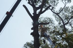 Đang đốn 8 cây dầu chết khô ở Công viên Văn Lang