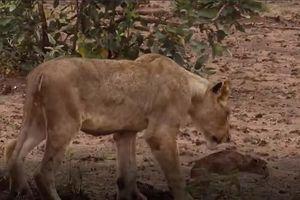 CLIP: Sư tử cứu sống và bảo vệ linh dương mới sinh bị báo hoa mai tấn công