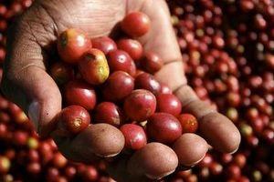 Giá cà phê hôm nay 6/11: Tăng mạnh trở lại 700 đồng/kg