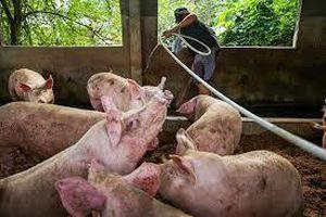 Dịch tả châu Phi giết chết 1/4 số lợn trên thế giới