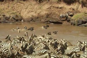 Đàn ngựa vằn chen nhau vượt qua 'cửa ải' cá sấu