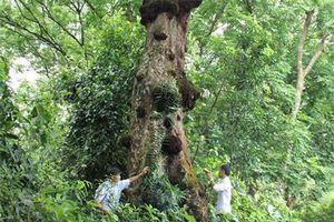 Kỳ bí cây lim khổng lồ 'tự tử' để hiến thân xây đại điện Lam Kinh